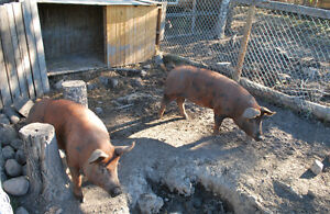 Duroc Berkshire Cross Pigs for sale alive or for butcher