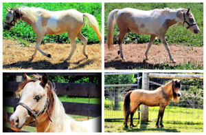Gorgeous Registered Miniature Mares