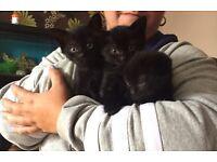 3 Pure Black Kittens