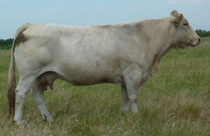 Blonde d'Aquitaine Herd Dispersal Prince George British Columbia image 7