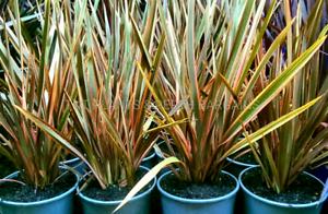 Phormium Maori Chief Flaxes Plants