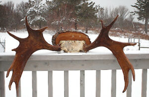 Moose Antlers - accepting offers