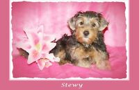 Puppies Avail~Health Guarantee~Yorkie and BIEWER males