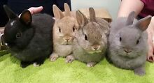 **PURE BRED TAME NETHERLAND DWARF RABBITS 2xM 2xF 8 Weeks Old ** Happy Valley Morphett Vale Area Preview