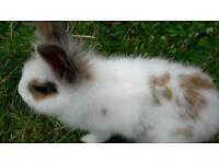 Baby Lionhead rabbits for sale.