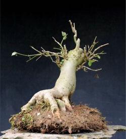 Superb Yamadori European Ash Bonsai material