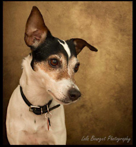 Lost Jack Russell Terrier in Vaudreuil