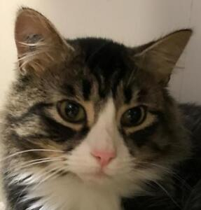 "Young Male Cat - Tabby: ""Astro"""