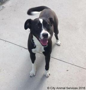 "Baby Female Dog - Border Collie-Boxer: ""Cassie"""