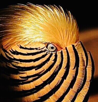 6 Red Golden Pheasant Hatching Eggs Pre Sale