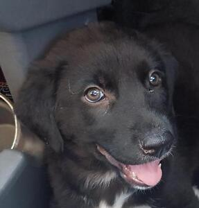 "Baby Female Dog - Labrador Retriever-Border Collie: ""RIVER"""
