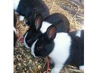 Dutch baby rabbits