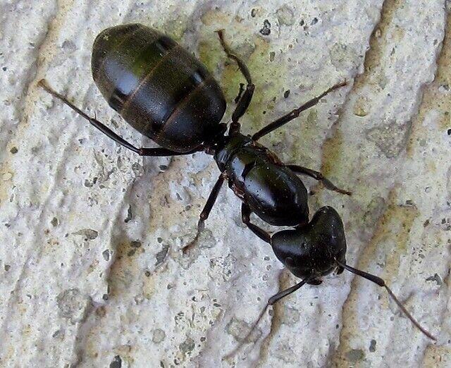Camponotus pennsylvanicus queen - Carpenter ant - Ants-Ant Colony Starter - EASY