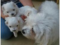 Cute, gorgeous Maltese puppies.