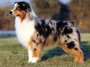 Looking for Australian Shepherd