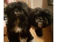 Shih tzu puppies for sale( fully vaccinated and micro chipped)