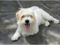 Jack Russell cross, for sale