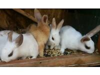 Baby rabbits £15 each or 2 for £25