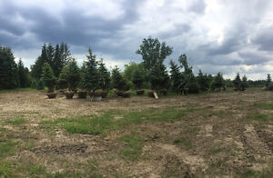 Mature blue spruce trees for sale