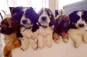 Our Berdoodle Beauties are Back!!