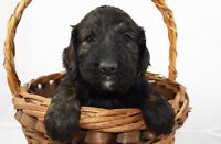 MINI GOLDENDOODLE PUPPIES - Brindle and Black/White