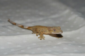 Patternless Yellow Dalmation Crested Gecko