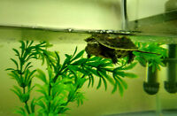 Selling 2 baby chinese golden thread turtle