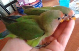 Baby Lovebirds for sale