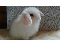 Ready now white mini lop with blue eyes