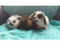 Baby mini lop bunnies for sale