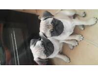 2 KC Pug girls for sale