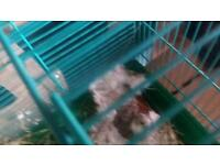 Hamster for sale male and female comes with cage