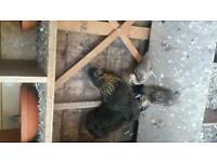 Broody hen & 2 Peafowl chicks