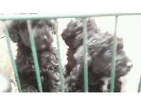 jackapoo pups for sale