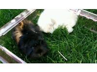 Girls guinea pigs
