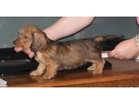 Dachsund Puppies - 3 Mini Wire-Haired Dogs