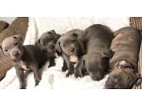 American Bully XL puppies for sale