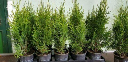 60 Stück Thuja Smaragd, Lebensbaum, Heckenpflanze 30/40 cm