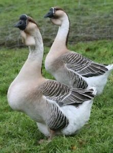 African geese for sale