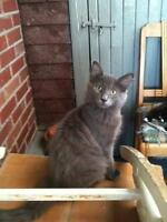 """Baby Male Cat - Domestic Long Hair-gray: """"Obama"""""""