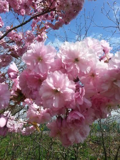 1 japanese flowering cherrykanzan 4 5ft tall large deep pink 1 japanese flowering cherrykanzan 4 5ft tall large deep pink flowers mightylinksfo