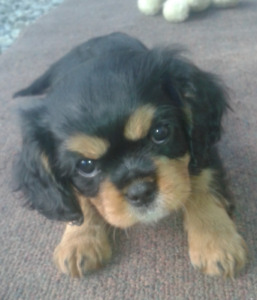 Purebred Cavalier King Charles Spaniel Puppy