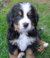 Bernese Puppy Wanted!