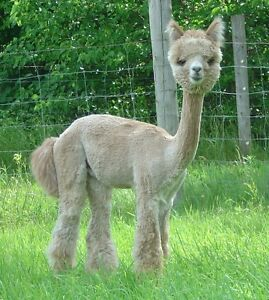 Two Adorable Male Alpacas - $400 for both