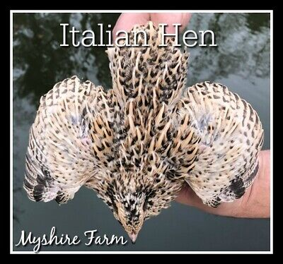 170 Gold Coturnix Hatching Eggs By Myshire Includes Italian Golden Manchurian