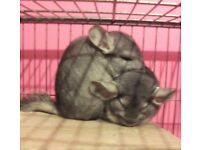 2 Chinchillas & Cage For Sale - 5* Home Wanted