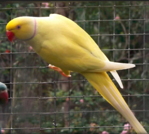 YELLOW RING NECK FOR RE HOME
