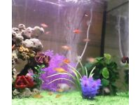 Platy fish approx 2-3cm 4months old 50p each or 7 for £3