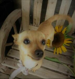 "Young Female Dog - Chihuahua: ""Macie"""