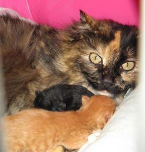 """Baby Female Cat - Domestic Short Hair: """"Kittens!"""" Oakville / Halton Region Toronto (GTA) image 2"""